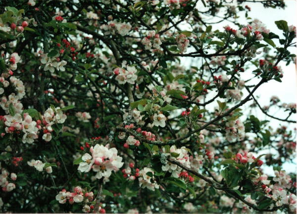 Gladstone blossom